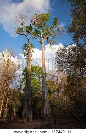 Baobab Trees In Ankarafantsika National Park