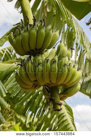 Banana tree and fruit in Nakhon Pathom Province of Thailand