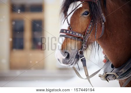 Portrait of a brown horse in a harness. poster