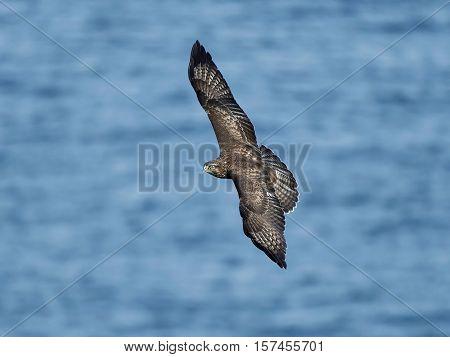 Common buzzard in flight with blue water in the background
