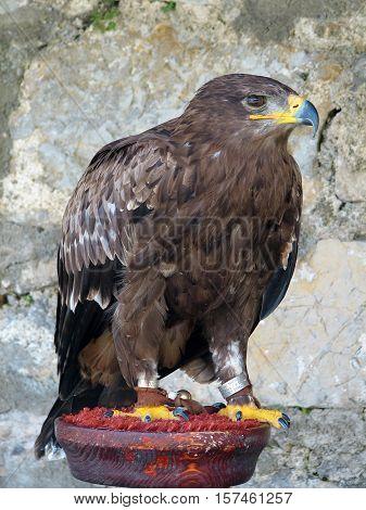 Golden Eagle on parade raptors to the public