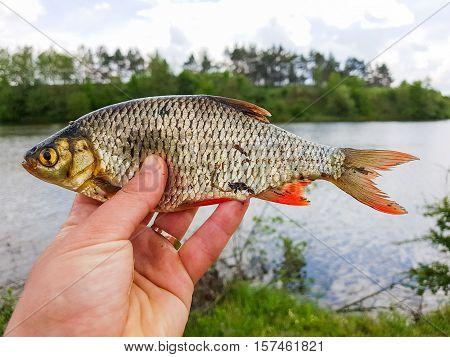 Fishing. Zander in the hand of the fisherman.