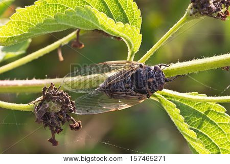 Cicada / Insects living in the southern countries