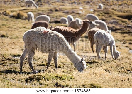 Herd of alpacas at Andes of Peru, en route to Puno