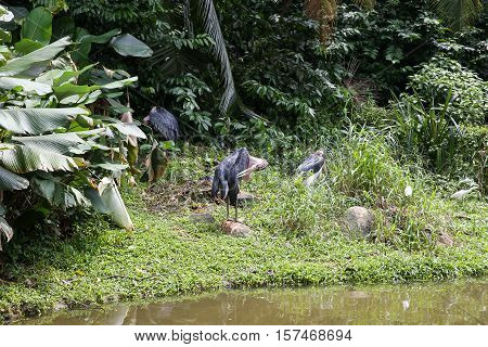 Black stork cleans wings near lake stay on grass