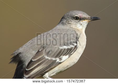 Northern Mockingbird (Mimus polyglottos) with a brown background