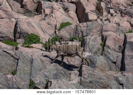 Mountain Goat On Hill