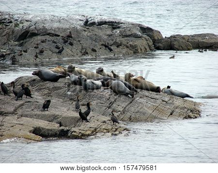Some seals on a small island along the Atlantic sea coast.