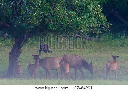 Black Bear Threatens Herd of Elk huddled under an apple tree