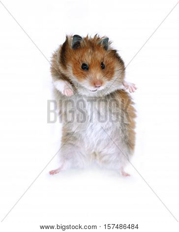 Brown Syrian hamster funny dancing on hind legs isolated on white background