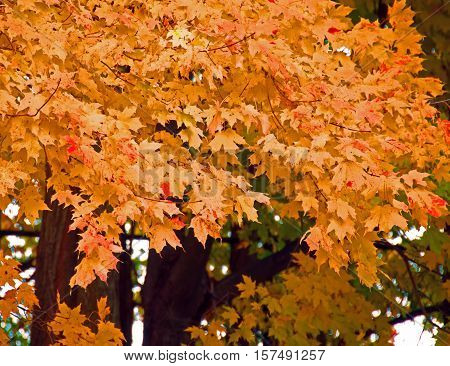 A photo of yellow and orange leaves just before falling from the tree