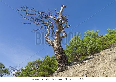 Dried relict pine against the blue sky. Crimea September.