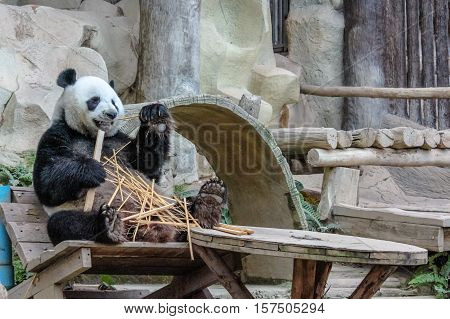 Chiang Mai, Thailand - July 23, 2011: Giant Panda, Ailuropoda melanoleuca, eating bamboo in Chiang Mai Zoo, the first and only zoo in Northern Thailand. side view.