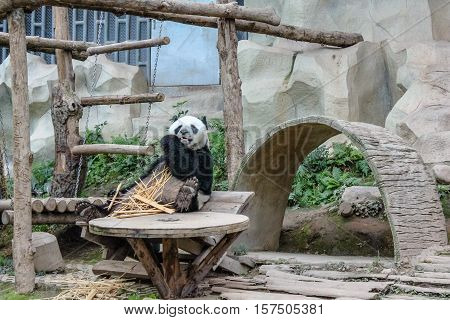 Chiang Mai, Thailand - July 23, 2011: Giant Panda, Ailuropoda melanoleuca, eating bamboo in Chiang Mai Zoo, the first and only zoo in Northern Thailand.