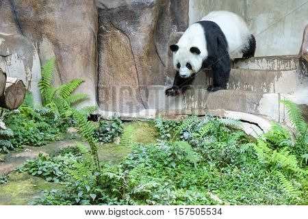 Chiang Mai, Thailand - July 23, 2011: Giant Panda, Ailuropoda melanoleuca, walking. Chiang Mai Zoo, the first and only zoo in Northern Thailand.
