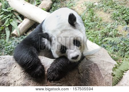 Chiang Mai, Thailand - July 23, 2011: portrait of cute Giant Panda, Ailuropoda melanoleuca, resting on a rocks. Chiang Mai Zoo, the first and only zoo in Northern Thailand.