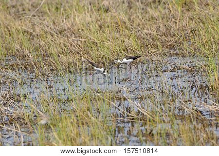 Black Necked Stilts in a Wetland of the Santa Ana Wildlife Refuge in Texas