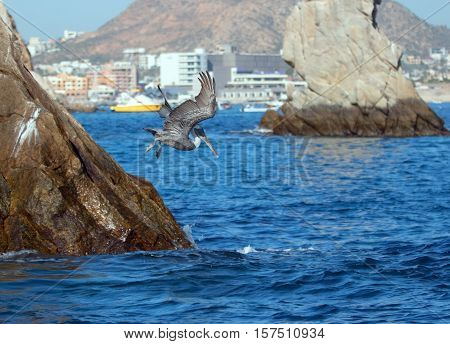 Pelican flying down and diving to catch a fish in front of Neptunes finger near Los Arcos / Lands End in Cabo San Lucas Baja Mexico