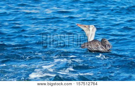 Pelican eating a fish near Los Arcos / Lands End in Cabo San Lucas Baja Mexico