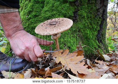 Picking nice specimen of delicious edible Macrolepiota procera or Parasol mushroom in autumn oak forest