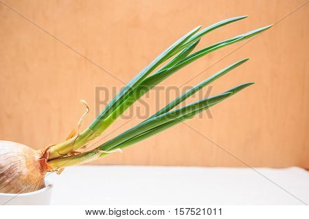 Healthy edible plant. Onion bulb with chives fresh sprout vegetable food new green burgeons grow in home.