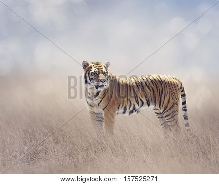 Bengal Tiger Walking in the Grassland
