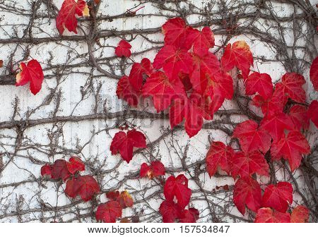 Climbing Ivy with red leaves in autumn on the wall