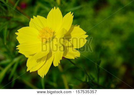 Yellow Cosmos Flowers in Garden - Blooming Cosmos Sulfur Cosmos