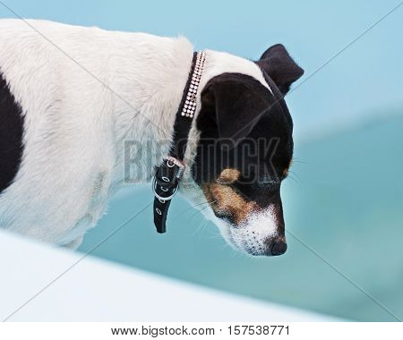 Jack Russell Terrier dog on the beach in swimmingpool. Closeup.