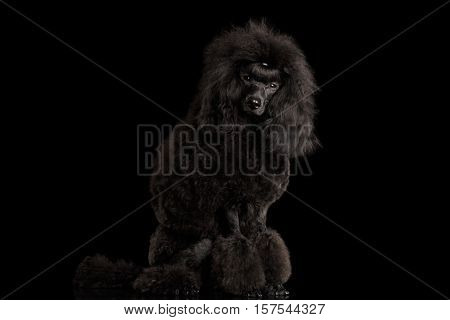 Black poodle dog Sitting, Looking in Camera, on isolated black background