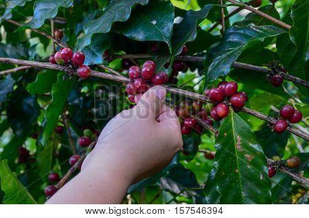 Red coffee cherry picking season comes again.