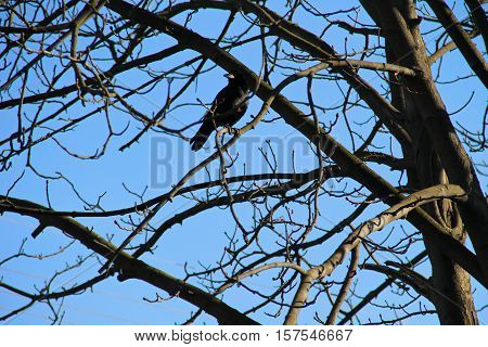 Crow on the tree branches against blue sky