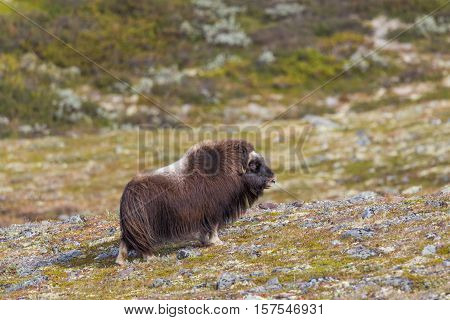 Female musk ox (Ovibos moschatus) standing in green and natural meadow