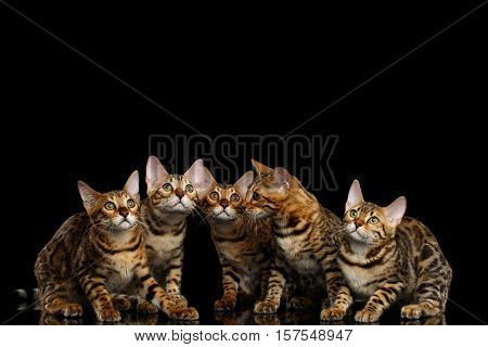 Close-up Portrait of Group Adorable breed Bengal kittens, Curious Looking in camera isolated on Black Background, Front view on Five cats