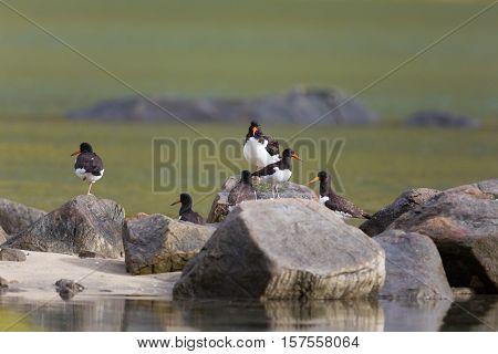 Several (Eurasian) oystercatcher (Haematopus ostralegus) standing on stones poster