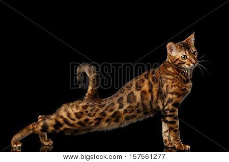 Adorable Gold Bengal Cat with rosette Standing and stretched up on Isolated black background