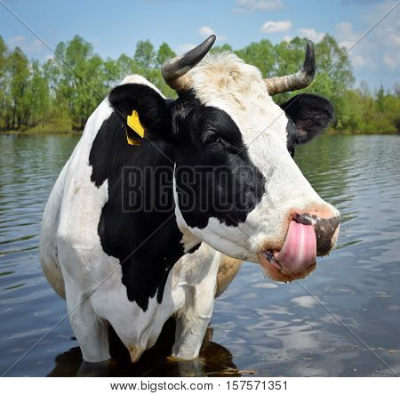 The portrait of cow on the background of blue sky, river and forest. Beautiful funny cow on cow farm. Cow showing tongue and licks her muzzle. Funny black and white cow  livestock