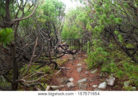 Path through creeping pine in the mountains