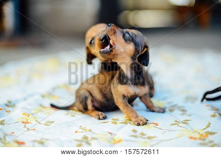 dachshund puppy. dachshund puppy portrait outdoors. many  cute dachshund puppy playing outdoor. Shorthaired Dachshound. A beautiful dachshund puppy dog with sad eyes dog portrait