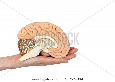 Hand holding left brain hemisphere isolated on white background
