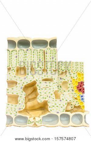 Model leaf with plant cells chloroplasts chlorophyll isolated on white background