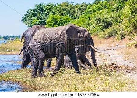 Watering in the  river. Chobe National Park in Botswana. Herd of African elephants crossing shallow Delta Okavango
