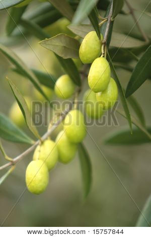 Olives Hanging Fresh From a Tree Branch