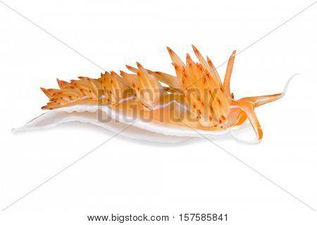 Dondice banyulensis, nudibranch, Kemer, Antalya Province, Mediterranean Sea, Turkey, isolated on white background.