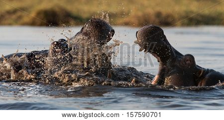 Wildlife in Tanzania, Scenes of animals in their natural habitat, Hippo