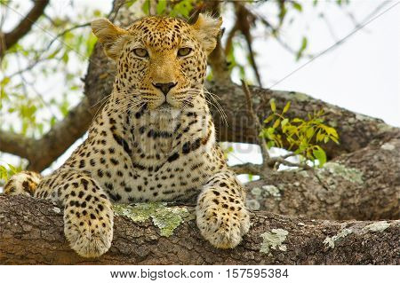 Wildlife in Tanzania, Scenes of animals in their natural habitat, leopard