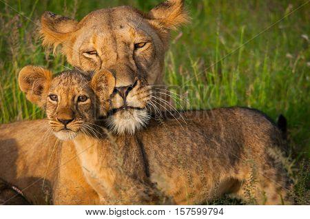 Wildlife in Tanzania, Scenes of animals in their natural habitat, lion