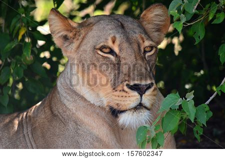Wildlife in Tanzania, Scenes of animals in their natural habitat, lion