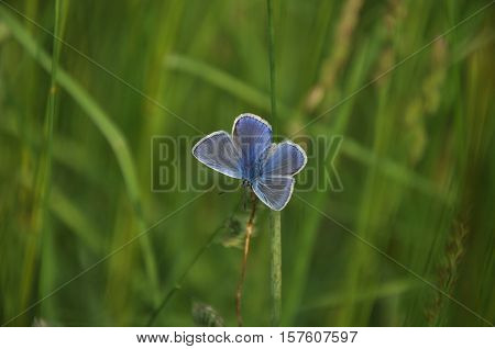common blue (Polyommatus icarus) standing on a leaf