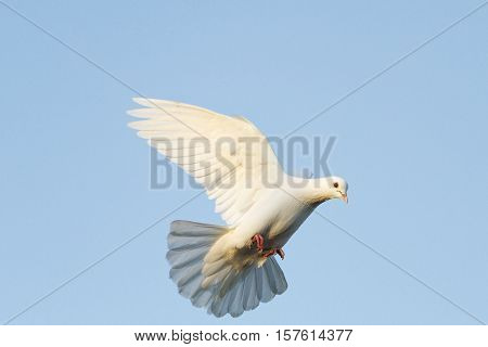 white dove flying in the blue sky, postal dove, symbol of peace